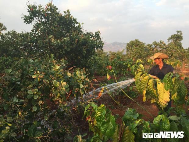 Nắng hạn kéo dài, nông dân Gia Lai làm việc xuyên Tết trên vườn cà phê - Ảnh 1.
