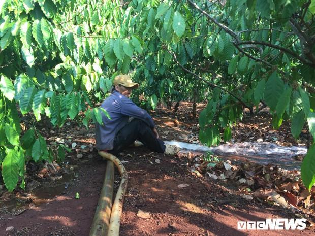 Nắng hạn kéo dài, nông dân Gia Lai làm việc xuyên Tết trên vườn cà phê - Ảnh 2.
