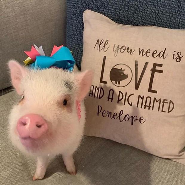 Năm con heo Kỷ Hợi, điểm mặt những chú lợn nổi tiếng, làm mưa làm gió trên mạng xã hội toàn thế giới - Ảnh 2.