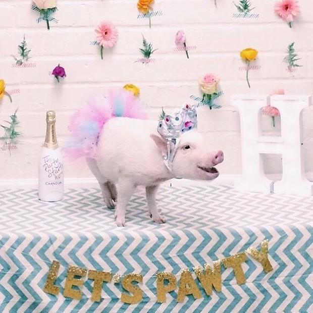 Năm con heo Kỷ Hợi, điểm mặt những chú lợn nổi tiếng, làm mưa làm gió trên mạng xã hội toàn thế giới - Ảnh 4.