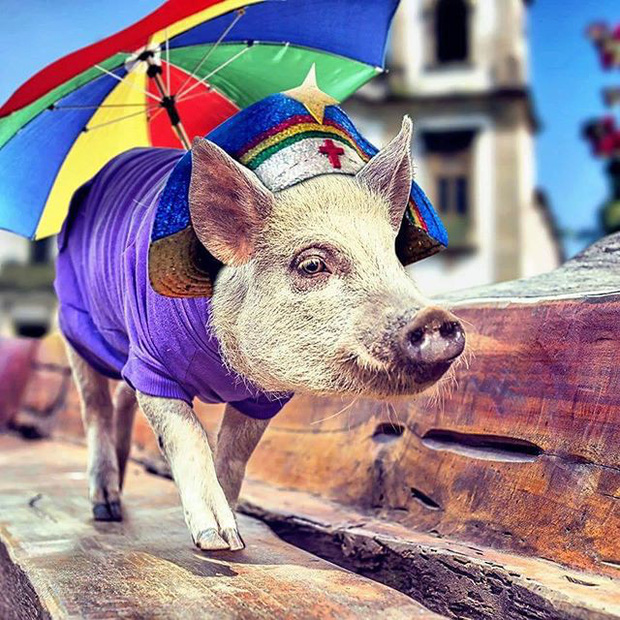 Năm con heo Kỷ Hợi, điểm mặt những chú lợn nổi tiếng, làm mưa làm gió trên mạng xã hội toàn thế giới - Ảnh 6.