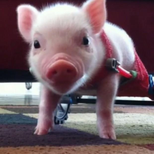 Năm con heo Kỷ Hợi, điểm mặt những chú lợn nổi tiếng, làm mưa làm gió trên mạng xã hội toàn thế giới - Ảnh 8.