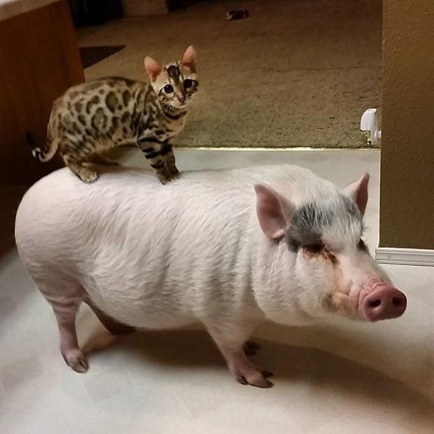 Năm con heo Kỷ Hợi, điểm mặt những chú lợn nổi tiếng, làm mưa làm gió trên mạng xã hội toàn thế giới - Ảnh 9.