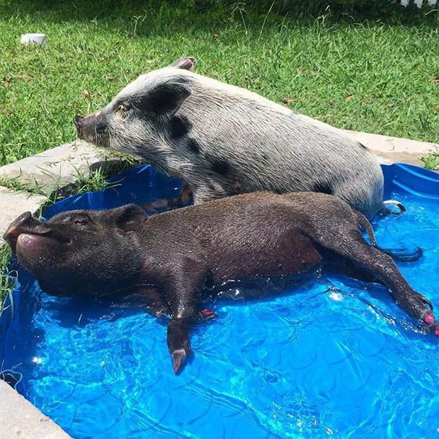 Năm con heo Kỷ Hợi, điểm mặt những chú lợn nổi tiếng, làm mưa làm gió trên mạng xã hội toàn thế giới - Ảnh 10.