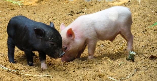 Câu chuyện về War Pig và Pig War: từ những con lợn quật ngã cả voi, đến nguy cơ gây đại chiến giữa 2 cường quốc - Ảnh 2.