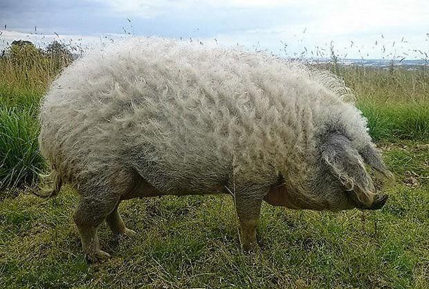 Những kỷ lục khó đỡ được ghi vào sách Guinness của họ nhà lợn mà đảm bảo rất ít người được nghe - Ảnh 5.