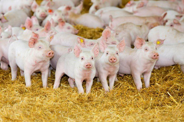 Những kỷ lục khó đỡ được ghi vào sách Guinness của họ nhà lợn mà đảm bảo rất ít người được nghe - Ảnh 7.