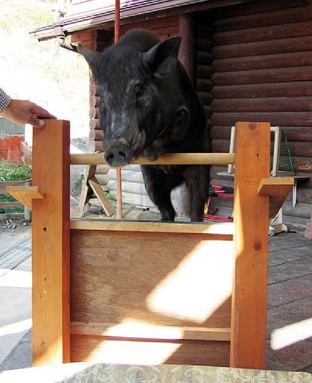 Những kỷ lục khó đỡ được ghi vào sách Guinness của họ nhà lợn mà đảm bảo rất ít người được nghe - Ảnh 8.