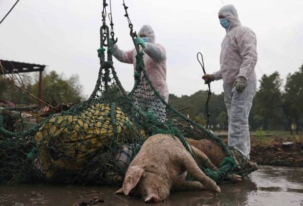 Dịch tả lợn châu Phi tác động xấu tới ngành chăn nuôi Bỉ và Trung Quốc - Ảnh 1.