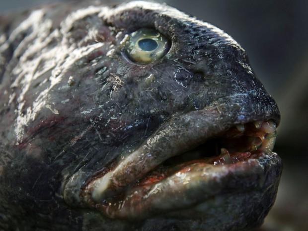 Con người đã vô tình đẩy loài cá xấu thảm thương này vào cảnh tuyệt chủng và đây là câu chuyện đằng sau - Ảnh 2.