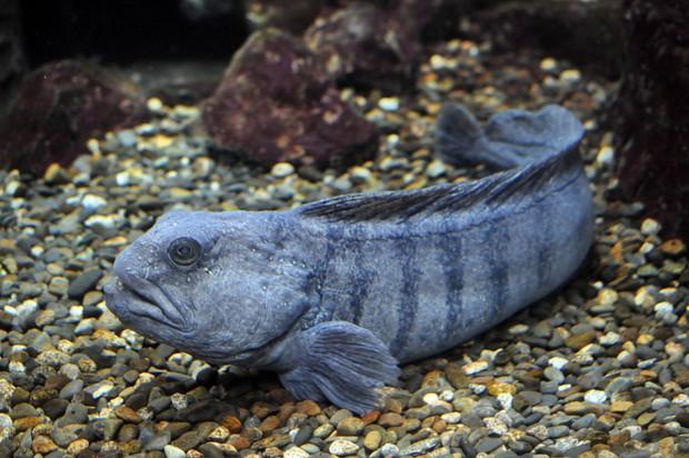 Con người đã vô tình đẩy loài cá xấu thảm thương này vào cảnh tuyệt chủng và đây là câu chuyện đằng sau - Ảnh 4.