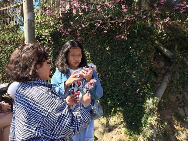 Góc thở dài: Lên Đà Lạt check-in với mai anh đào, nhiều bạn trẻ tiện thể ngắt hoa, bẻ cành, đu hẳn lên tường để chụp ảnh - Ảnh 5.