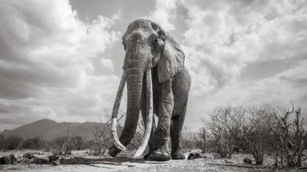 Những hình ảnh cuối cùng về voi nữ hoàng của Kenya với đôi ngà đẹp nhất thế giới, chạm tới đất - Ảnh 3.