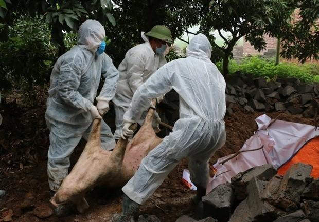 Dịch tả lợn Châu Phi đã lan rộng 15 tỉnh, tiêu hủy 16.600 con lợn - Ảnh 2.
