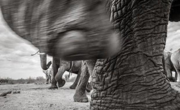 Những hình ảnh cuối cùng về voi nữ hoàng của Kenya với đôi ngà đẹp nhất thế giới, chạm tới đất - Ảnh 4.