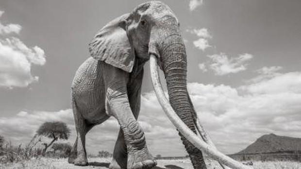 Những hình ảnh cuối cùng về voi nữ hoàng của Kenya với đôi ngà đẹp nhất thế giới, chạm tới đất - Ảnh 5.