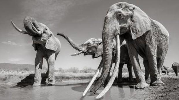 Những hình ảnh cuối cùng về voi nữ hoàng của Kenya với đôi ngà đẹp nhất thế giới, chạm tới đất - Ảnh 6.