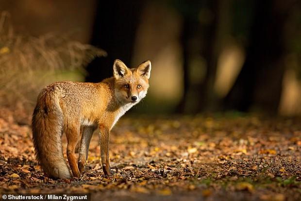 Chán cảnh bị săn mồi, cả bầy hơn 3000 con gà mái vùng lên mổ chết một con cáo xấu số - Ảnh 2.