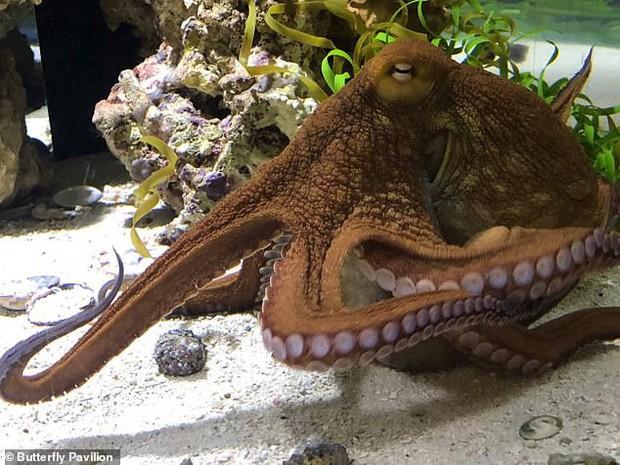 Thước phim siêu hiếm này sẽ chứng minh loài bạch tuộc cũng biết... mơ mộng - Ảnh 4.