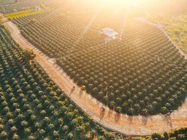 Ai mà ngờ có ngày vườn thanh long ở Phan Thiết lại trở thành điểm đến hot hòn họt được giới trẻ đổ xô kéo đến  - Ảnh 1.