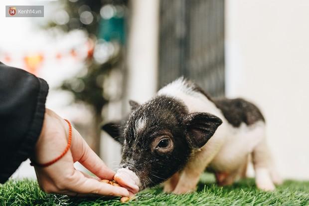 Giữa sức nóng dịch tả, giới trẻ Hà thành vẫn săn lùng lợn cảnh mini giá vài triệu làm thú cưng - Ảnh 5.