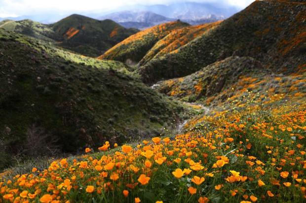 Choáng ngợp trước hiện tượng hoa siêu bung nở cực hiếm gặp, khiến cả sa mạc như sống dậy - Ảnh 4.