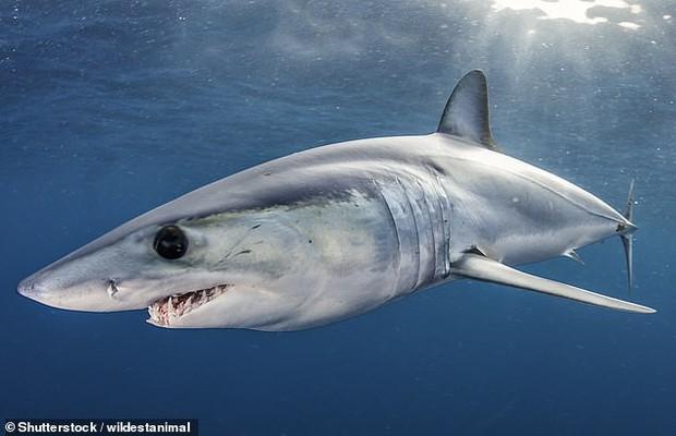 Sách Đỏ xác nhận cá mập đang nguy cấp hơn bao giờ hết, bao gồm cả loài nhanh nhất thế giới - Ảnh 1.
