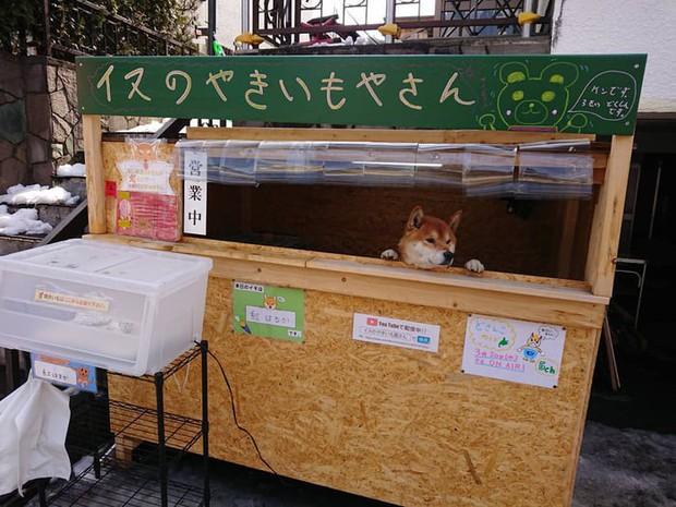 Chú chó shiba quản lý quầy khoai lang nướng ở Nhật khiến 5000 anh em mong mỏi được diện kiến một lần - Ảnh 4.