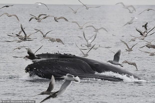 Cảnh tượng hiếm thấy: Bầy hải âu đang nhởn nhơ bay trên biển thì bị cá voi phóng lên lùa hết vào bụng - Ảnh 2.