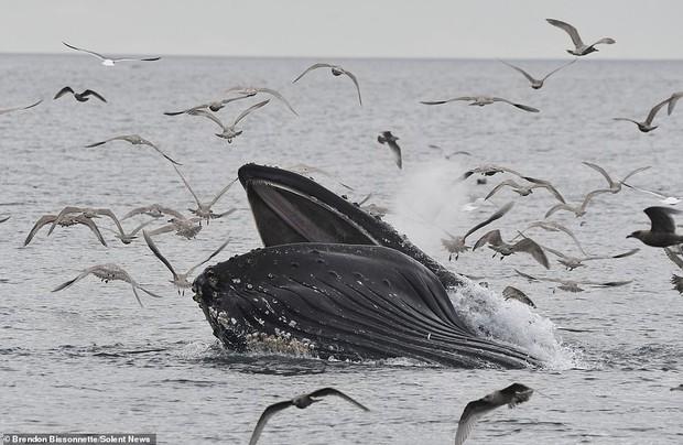 Cảnh tượng hiếm thấy: Bầy hải âu đang nhởn nhơ bay trên biển thì bị cá voi phóng lên lùa hết vào bụng - Ảnh 3.