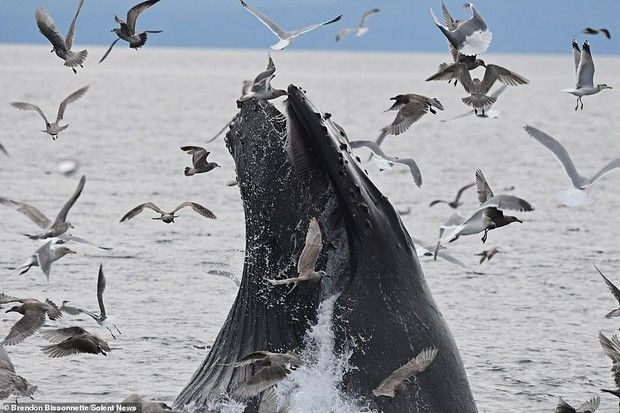 Cảnh tượng hiếm thấy: Bầy hải âu đang nhởn nhơ bay trên biển thì bị cá voi phóng lên lùa hết vào bụng - Ảnh 1.