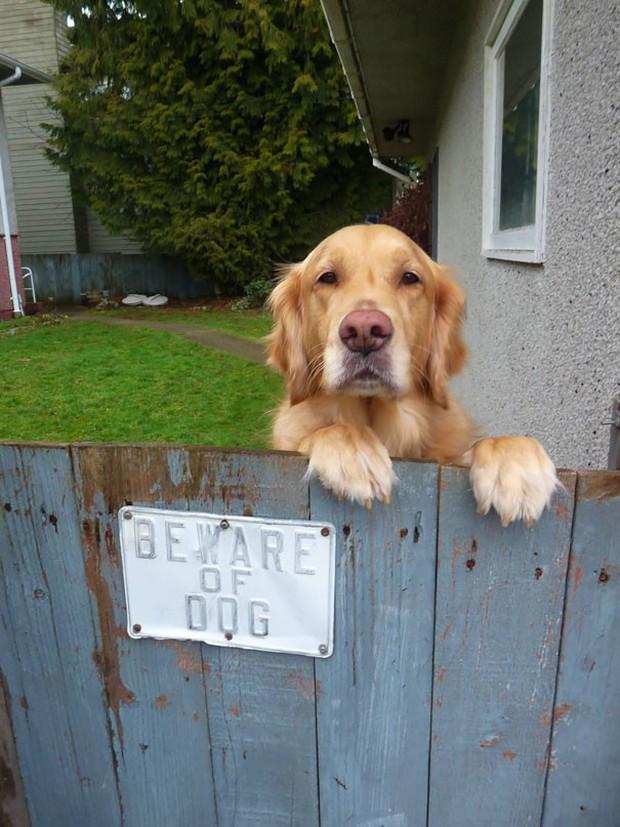 Chùm ảnh về những con boss ngáo ngơ phủi bỏ mọi ý nghĩa của tấm bảng coi chừng chó dữ - Ảnh 12.