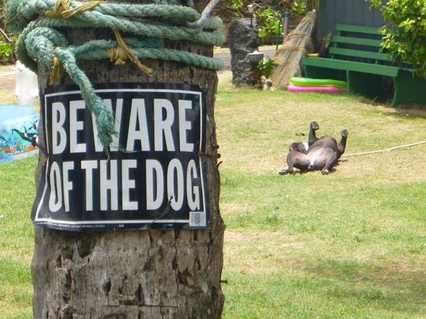 Chùm ảnh về những con boss ngáo ngơ phủi bỏ mọi ý nghĩa của tấm bảng coi chừng chó dữ - Ảnh 16.