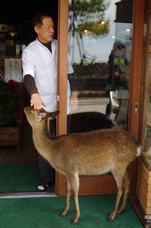 Hiện tượng hươu đi xin đểu tràn lan tại Nhật Bản vô tình giúp quảng bá du lịch nước này - Ảnh 5.