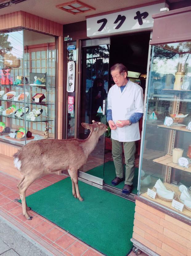 Hiện tượng hươu đi xin đểu tràn lan tại Nhật Bản vô tình giúp quảng bá du lịch nước này - Ảnh 6.