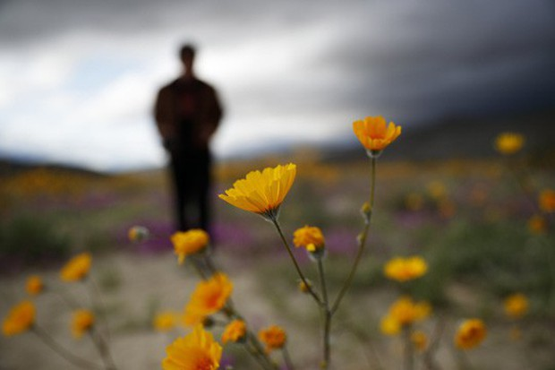 Đợt siêu nở hoa vô cùng bất thường trên sa mạc California  - Ảnh 1.