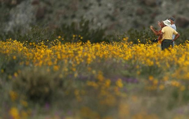 Đợt siêu nở hoa vô cùng bất thường trên sa mạc California  - Ảnh 2.