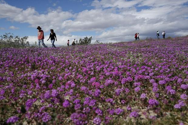 Đợt siêu nở hoa vô cùng bất thường trên sa mạc California  - Ảnh 4.