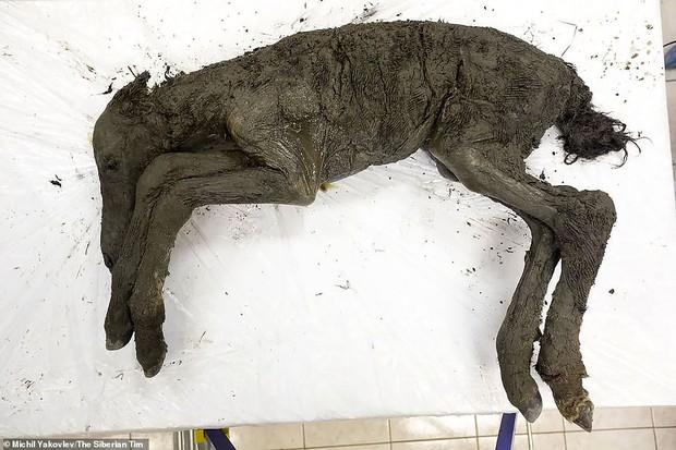 Khoa học tự tin khẳng định hồi sinh được loài ngựa thời tiền sử từ một cái xác đóng băng 42.000 năm trước - Ảnh 1.