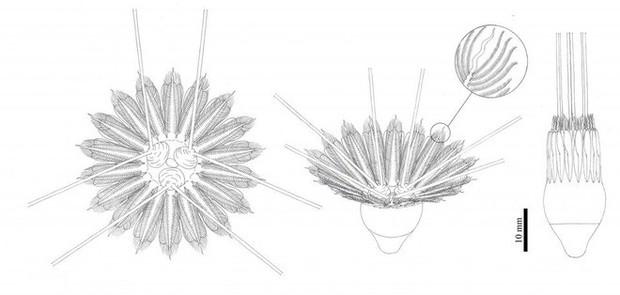 Quái vật biển cổ đại với 18 xúc tu này có thể là tổ tiên loài sứa lược - Ảnh 2.