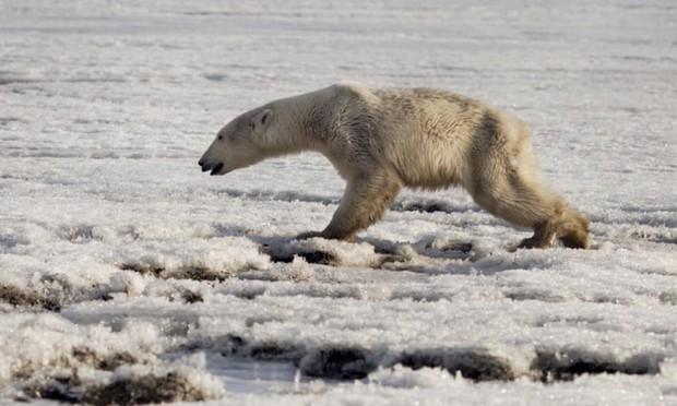 Gấu trắng Bắc Cực đi lạc 700km kiếm thức ăn - hình ảnh thương tâm của tình trạng biến đổi khí hậu - Ảnh 1.