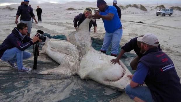 Tưởng đứng đầu chuỗi thức ăn nhưng cá mập trắng phải sợ hãi đến mức bỏ chạy trước loài vật này - Ảnh 5.