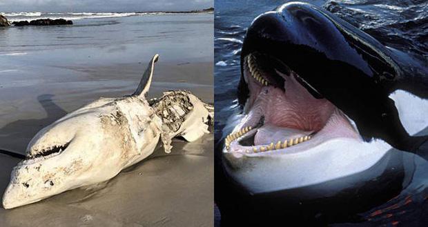 Tưởng đứng đầu chuỗi thức ăn nhưng cá mập trắng phải sợ hãi đến mức bỏ chạy trước loài vật này - Ảnh 4.