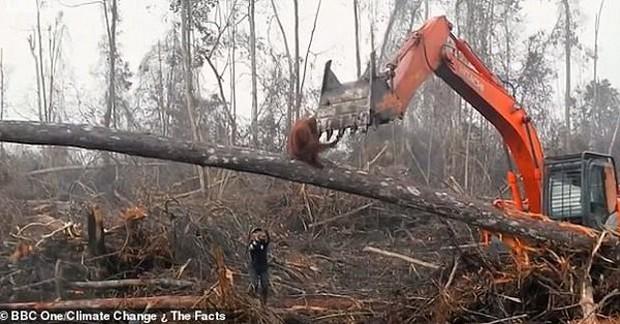 Đau lòng cảnh đười ươi liều mạng ngăn máy ủi phá rừng - Ảnh 2.