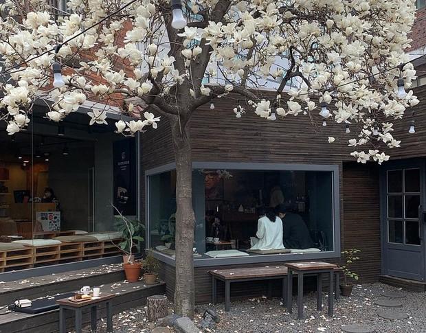 Không phải hoa anh đào, mộc lan mới chính là loài hoa đang vào độ bung nở đẹp nhất tại Seoul - Ảnh 11.