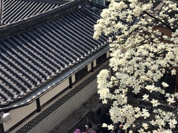 Không phải hoa anh đào, mộc lan mới chính là loài hoa đang vào độ bung nở đẹp nhất tại Seoul - Ảnh 12.