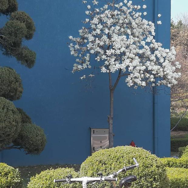 Không phải hoa anh đào, mộc lan mới chính là loài hoa đang vào độ bung nở đẹp nhất tại Seoul - Ảnh 3.