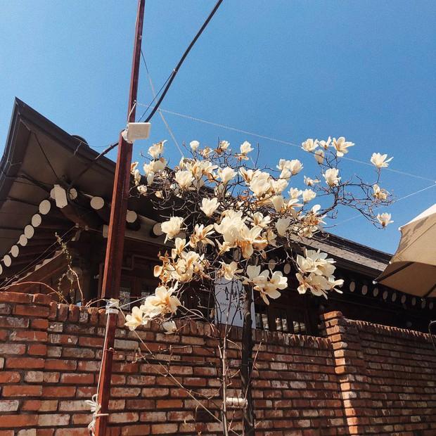Không phải hoa anh đào, mộc lan mới chính là loài hoa đang vào độ bung nở đẹp nhất tại Seoul - Ảnh 6.