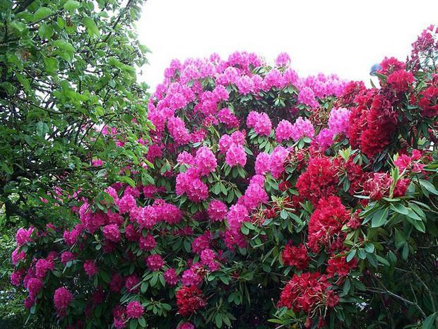 Tròn mắt ngắm nhìn cây hoa đỗ quyên hơn 120 tuổi khổng lồ nhất thế giới, có thể nuốt chửng cả vài trăm người cùng một lúc - Ảnh 1.