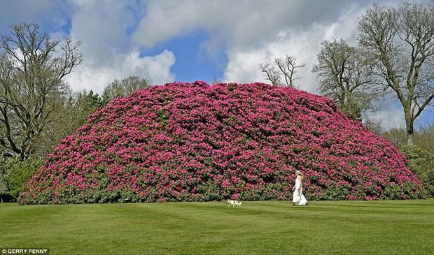 Tròn mắt ngắm nhìn cây hoa đỗ quyên hơn 120 tuổi khổng lồ nhất thế giới, có thể nuốt chửng cả vài trăm người cùng một lúc - Ảnh 3.